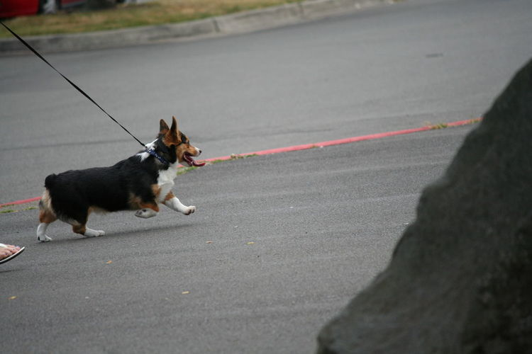 Pembroke welsh corgi walking on street