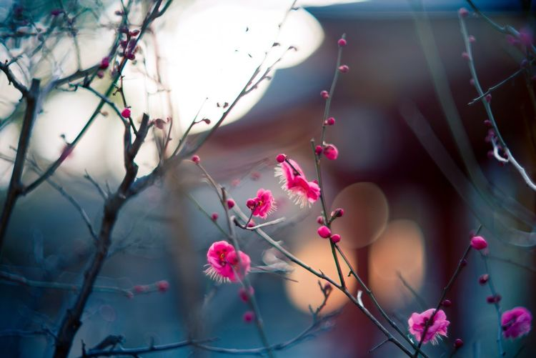 Ume Ume Blossom Blossoms  Blossoming  In Blossom Blossoming Time February Bokeh Dof Depth Of Field Outdoor Tree Branch Winter Kobe Japan