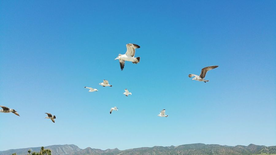 Low angle view of seagulls against clear blue sky