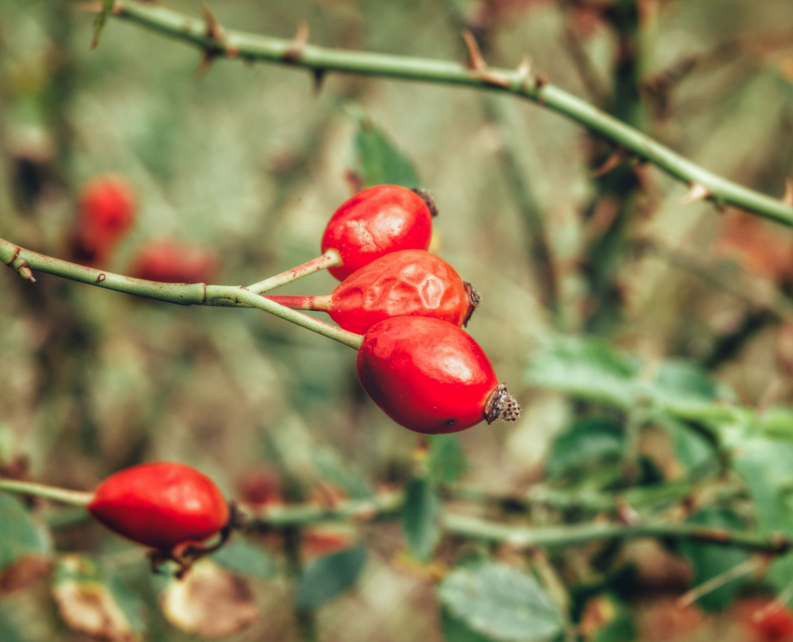 red, close-up, fruit, food and drink, focus on foreground, nature, growth, freshness, rose hip, no people, outdoors, food, healthy eating, day, beauty in nature
