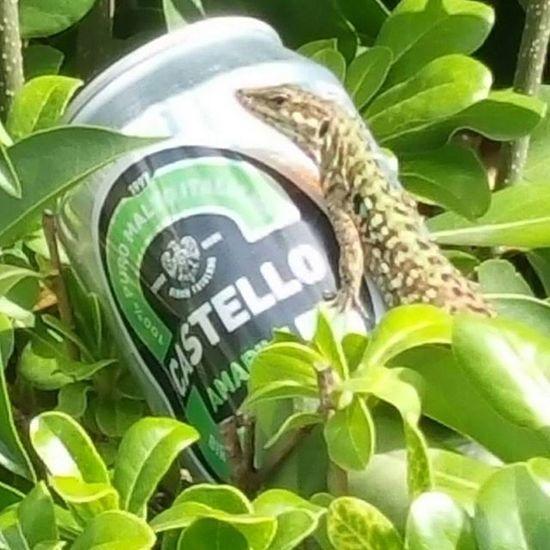 lucertola Abbronzatura Birra Beer