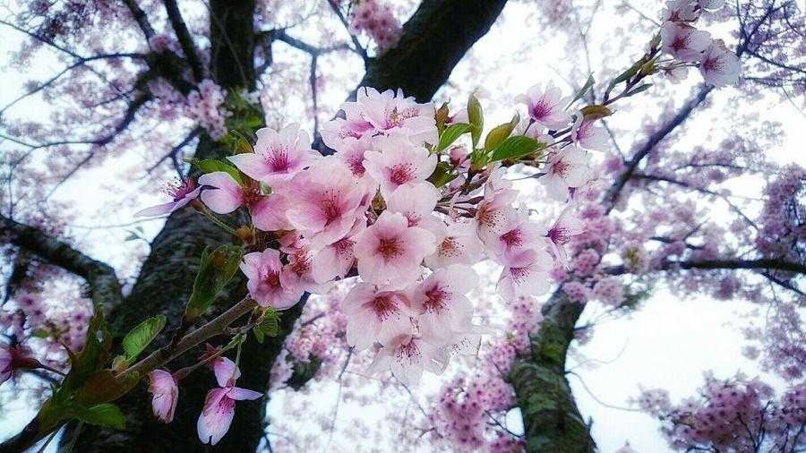 なごり桜 Cherry Blossoms Natural Beautiful Nature Beautiful Flowers Flowers, Nature And Beauty Close-up Landscape From My Point Of View