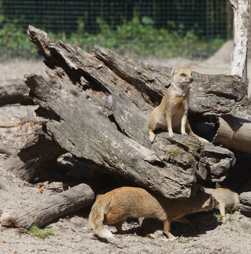 Yellow Mongooses - Cynictis penicillata Animals In The Wild Cynictis Penicillata Meerkat Namibia Sitting Tree Trunk Africa Animal Themes Animal Wildlife Animals In The Wild Barren Camouflage Close-up Curiosity Driftwood Feline Group Of Animals Hiding Mammal Mongoose No People Outdoors Three Animals Wildlife Yellow Mongoose