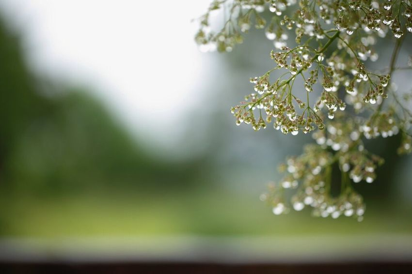 Nature Beauty In Nature Close-up No People Day Tree Macro Canon Canonphotography 雫 Drop スモークツリー