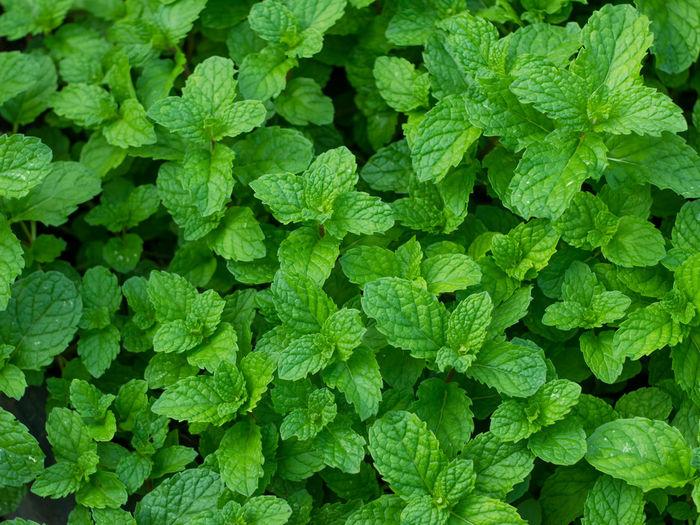 Full frame shot of mint leaves
