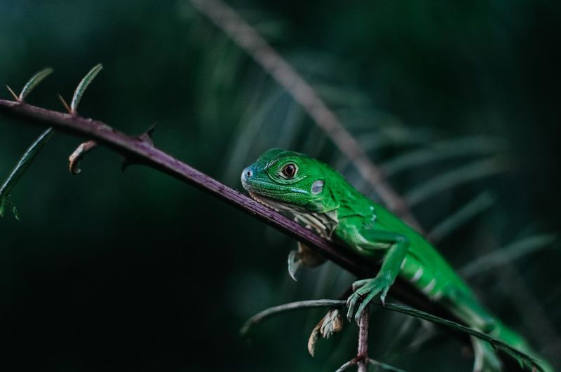 My green friend Lizzard Iguana Green Iguana Wildlife Photos Wildlife Photography Red Eyes Echse Nature Jungle Costa Rica Río Sarapiki My Best Photo The Great Outdoors - 2019 EyeEm Awards