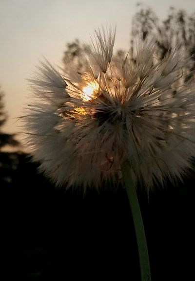 Flower Exploding Flower Head Focus On Foreground Motion Fragility Outdoors Plant Nature Freshness Summer Views Brilliance  Essence Of Summer Showcase August EyeEm Gallery EyeEm Vision Make A Wish, Say A Prayer For Texas Wildflower Morning Light Seed Dandelion Seed Head Eyeemphotography Getty Images Warmth Of The Sun