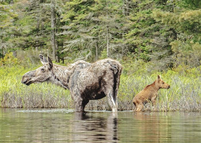 Moose with calf in lake at forest