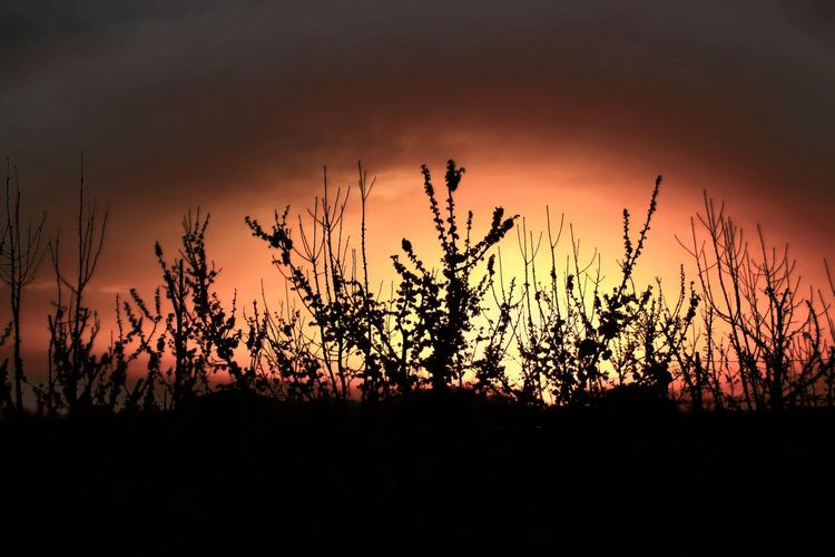 Silhouette plants on field at sunset