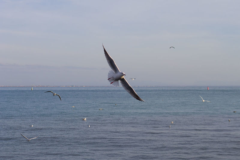Seagull Flying Water Sea Blue Bird Sky Sea Life Sea Bird Spread Wings Swimming Animal