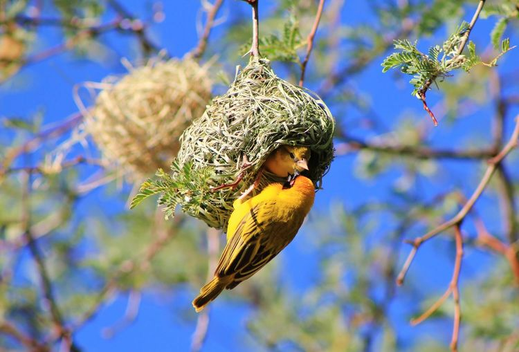 A Southern Masked Weaver female inspects a nest build by the male hanging on the outside of the nest. If she does not approve, she will destroy the nest and the male has to start all over again. Funny Nature. EyeEmNewHere Freedom Funny Golden Home Southern Masked Weaver Bird Working Animal Wildlife Animals In The Wild Beauty In Nature Bird Breeding Birds Colorful Craftsmanship  Cute Hilarious Nature Nest Outdoors Perching Seeking Approval Tree Weaver Wild Yellow