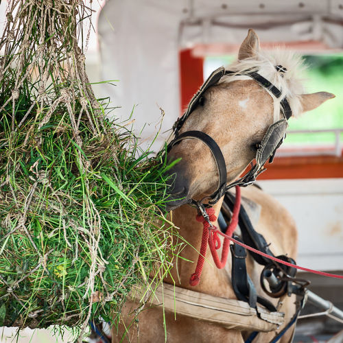 Horse Hay Eating Farm Animal Feed  Nature Horses Equine Equestrian Eat Ranch Stallion Brown Food Beautiful Stable Feeding  Mammal Grass Young HEAD Pasture Breed Haystack Paddock Close Beauty Herd Pony Field Rural Barn Mane Mare Winter Up Green Fence Thoroughbred Background