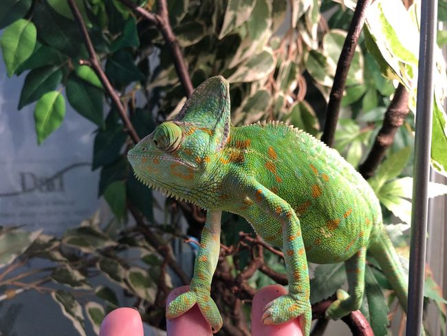 Reptile Lizard Green Color One Animal Animals In The Wild Animal Themes Chameleon