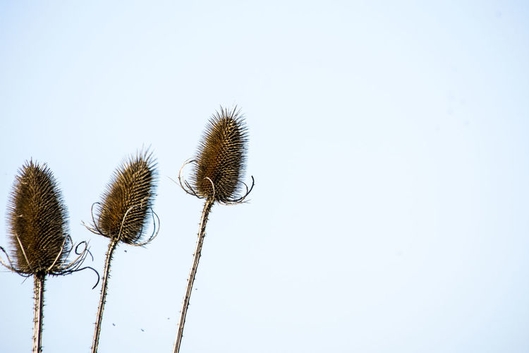 Low angle view of thistle against clear sky