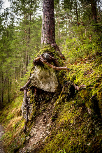 Forest Land Tree Plant Tree Trunk Nature WoodLand Trunk No People Day Moss Tranquility Landscape Environment Non-urban Scene Beauty In Nature Outdoors Tranquil Scene Green Color Close-up Pine Tree Pine Woodland