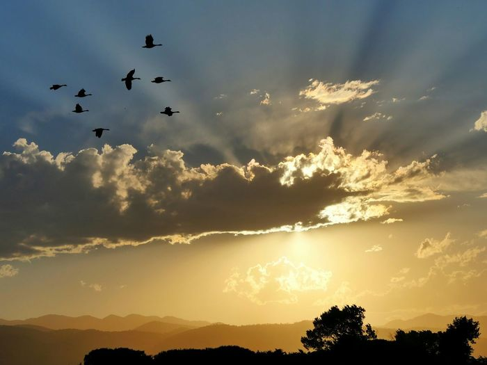 Silhouette geese flying over landscape during sunset
