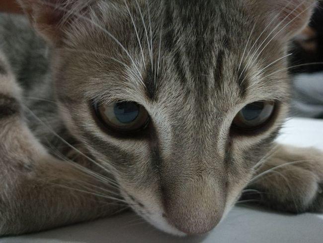 Looking At Camera Animal Head  Animal Eye My Little Tiger Animal Little Cat❤ Naughty Cat Cat♡ Cat