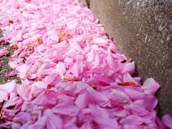 petals Pink Color Close-up Pink Petal Fragility