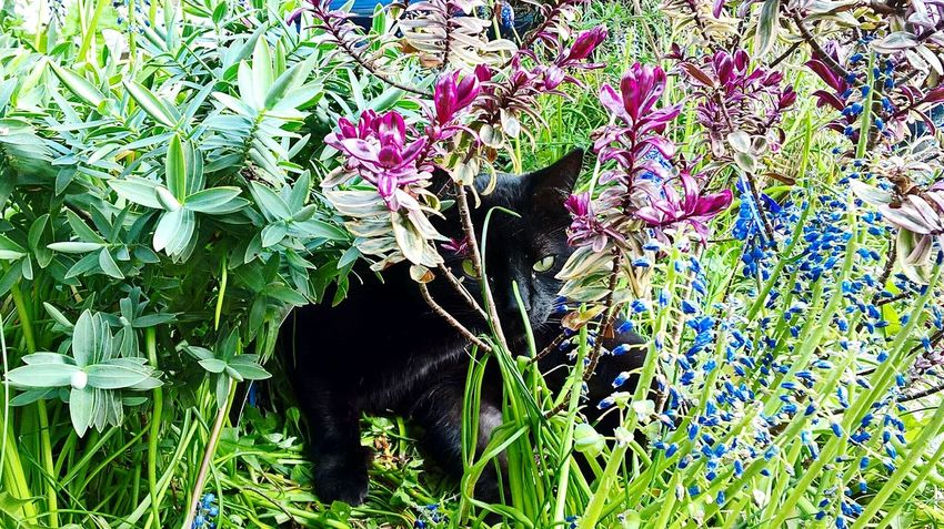 One Animal Nature Plant Animal Themes No People Mammal Outdoors Day Grass Animals In The Wild CatCats Cat Love In Garden Catlovers Devon Exeter Black Cat Photography cat Cats Of EyeEm Black Cat Is Just So Beautiful. Cat Black Cat In Garden Flowers, Nature And Beauty Alfie