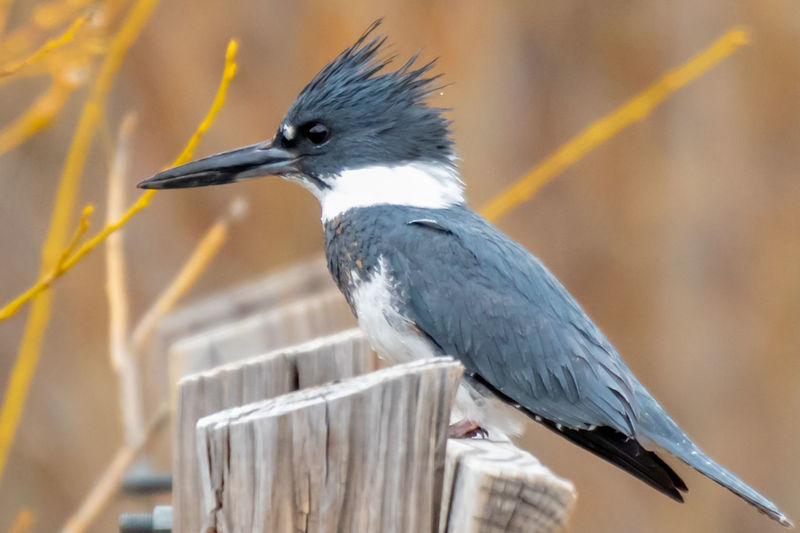 Animal Themes Bird Animal Vertebrate One Animal Animals In The Wild Animal Wildlife Perching Focus On Foreground No People Day Close-up Beak Nature Outdoors Looking Wood - Material Full Length Railing Side View Kingfisher