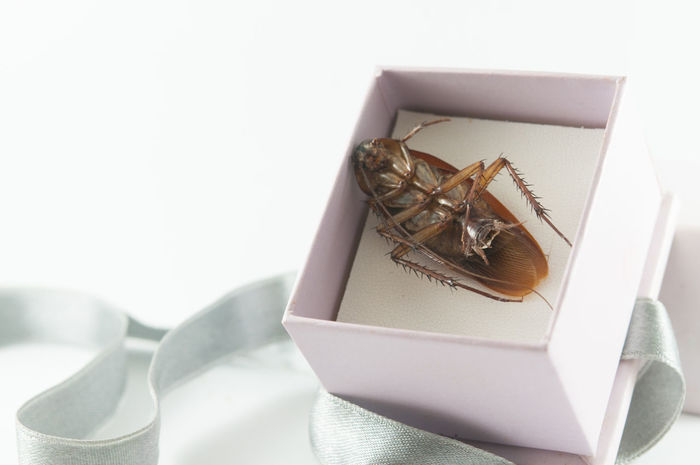 Cockroaches are animals. With disease and dirty Box - Container Chinese Takeout Close-up Cockroach Day No People Paper Studio Shot White Background