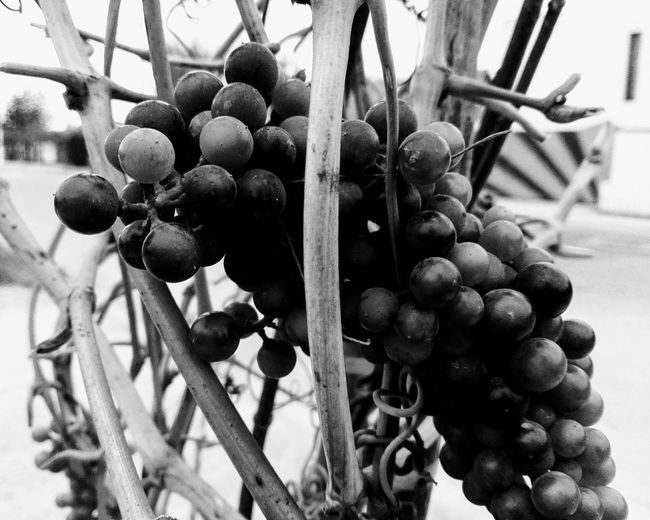 Grapes Black And White Black And White Grapes B&w Black & White No People Fruit Close-up Healthy Eating Nature Food Freshness Growth No Person Huaweiphotography Eyeem Market Ionita Veronica Veronica Ionita Wolfzuachiv WOLFZUACHiV Photos On Market Huawei Photography WOLFZUACHiV Photography Fragility Autumn