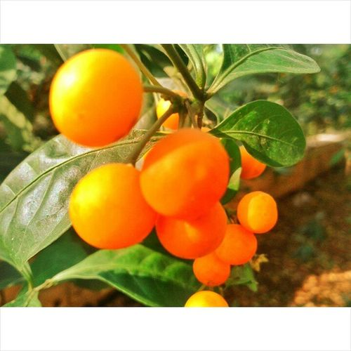 Sorry to disappoint but this are not Oranges Nature_and_sunsets