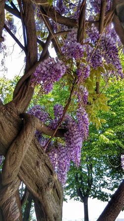 Wisteria Rivoli Spring Tree Growth Branch Low Angle View Nature Day Tree Trunk Outdoors Beauty In Nature No People Flower Fragility Close-up Freshness