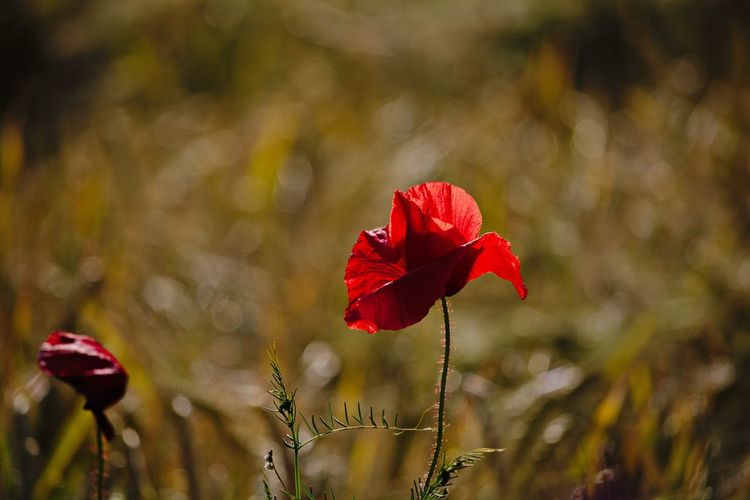 Flower Red Fragility Vulnerability  Beauty In Nature Close-up Petal Flower Head Nature Field Focus On Foreground Beautiful Beautiful Flowers Meadow Meadow Flowers Field Fieldscape Lovely Natural Beauty Scenics - Nature Nature_collection Nature Photography Naturelovers Flowers, Nature And Beauty Poppy Poppy Flowers Sunlight Evening Light EyeEm Nature Lover EyeEm Gallery Eye4photography