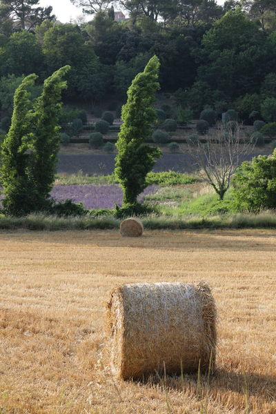 Agriculture Champs Arbres Tree Nature Provence Lavande Lavender Rouleau BLE Paille Foin Beauty In Nature Green Color Plant