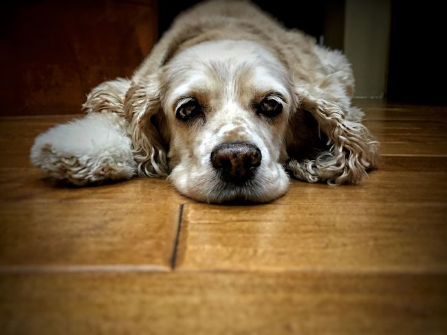 Eye/I focus.... Pets Domestic Animals Dog One Animal Dogsofinstagram Dogs Pet Cockerspaniel Americancockerspaniel Puppy Rescueddog