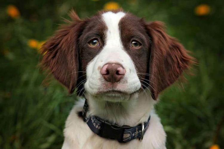 My handsome puppy. Darius Rucker ! Brittany Spaniel Akc Bird Dog