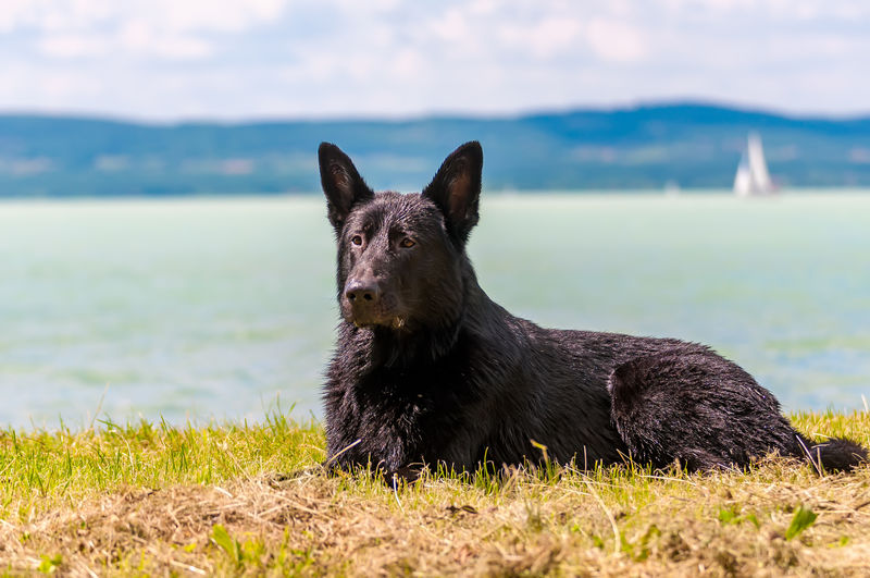 Black dog on a field