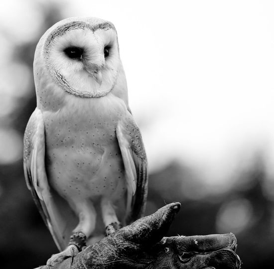 Close-Up Of Barn Owl On Branch