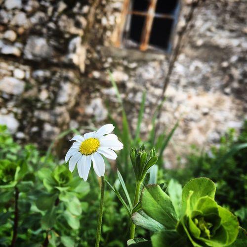 Papatya Papatya🌻 Flowers Flower White Yellow Green Objektifimden Morning Walk This Is The Opportunity I Barely 😄👍 Spring Bahar baharın en güzel habercisi, seviyor sevmiyor sorularına cevap aradığımız, saçımıza en çok yakışan taç çiçeği.... 🌼