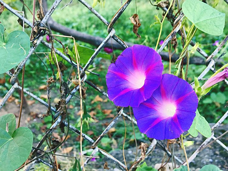Flower Fragility Nature Flower Head Growth Petal Beauty In Nature Day Purple Freshness No People Outdoors Close-up Leaf Petunia