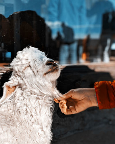 Cropped hand holding goat