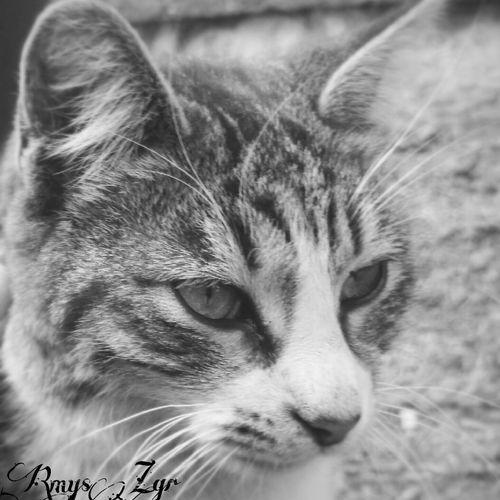 Blackandwhite Cutepets Kedi Aşkı Catcatcat