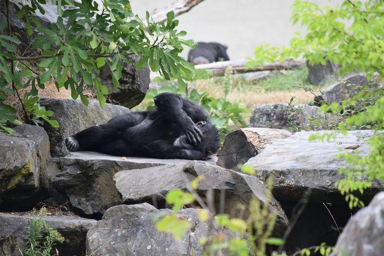 Gorilla sleeping in forest