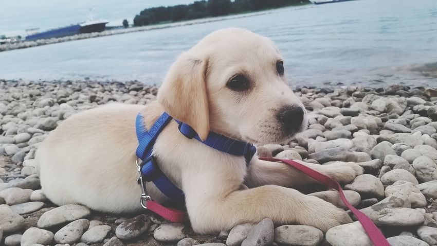 EyeEm Selects Dog Pets Beach One Animal Sea Sand Water Animal Domestic Animals Outdoors Pebble Pet Clothing Pet Collar No People Day Sitting Animal Themes Mammal Nature Close-up Hunde Liebe ♡ Dogs Of EyeEm Puppy Sam