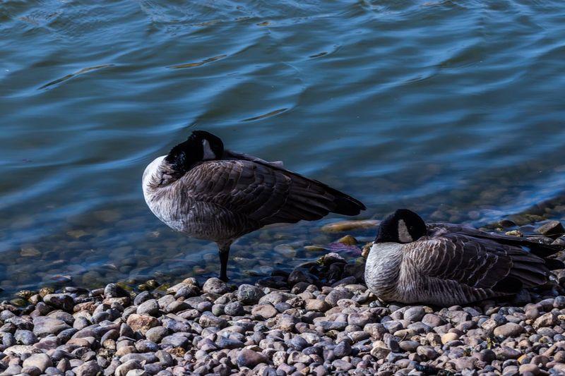 Animal Themes Animals In The Wild Bird Water Lake Animal Wildlife Nature No People Outdoors Swimming Water Bird Day