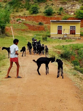 Adventure Domestic Animals Animal Themes Mammal Livestock Rural Scene Herbivorous Casual Clothing Dirt Road Place Pauparapatt Dharmapuri TN India