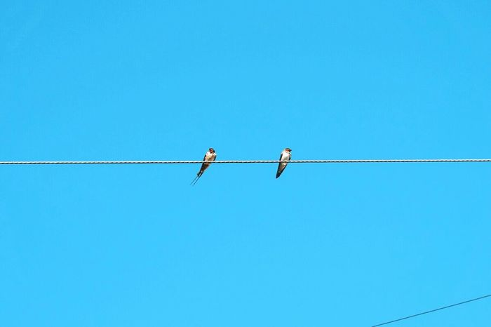 Birds. Birds Bird Birds On A Wire Birds And Blue Sky Birds Resting Two Birds Love Birds Blue Sky Eyeem Philippines ey Eyeem Photography The Week On EyeEm Birds On Power Wires Birds On Powerlines Power Lines Couple Birds Birds In Flight Pastel Colors