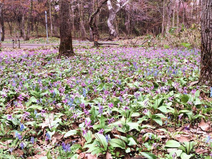 かたくり Plant Flower Flowering Plant Growth Beauty In Nature Land Tree