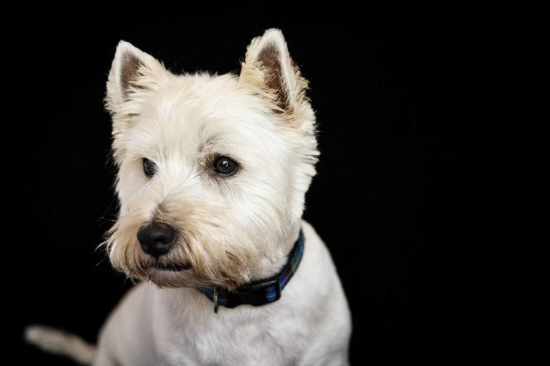 Close-Up Of White Dog Against Black Background