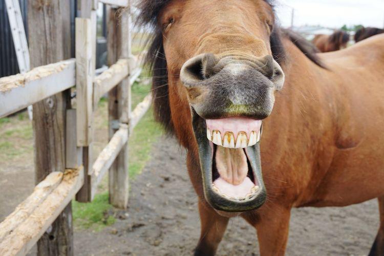 smile :) Iceland Cute Funny Beauty In Nature Smiling Yawning Horse Yawning Icelandic Horse Nose Horse Nose Horse Mouth Smiling Horse EyeEm Selects Portrait Agriculture Rural Scene Looking At Camera Horse Close-up Animal Body Part Pony Hoofed Mammal Mane Sleepy