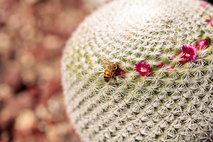 Twin spined cactus Mammillaria geminispina grows in the desert and attracts bees to its pink flowers. Bee Cactus Close-up Day Desert Flower Head Freshness HoneyBee Mammillaria Geminispina Nature No People Outdoors Pink Flower Plant Spine Twin Spined Cactus White Cactus