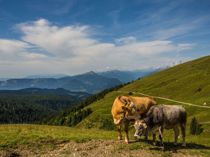 Cows on hill against mountains at alto adige