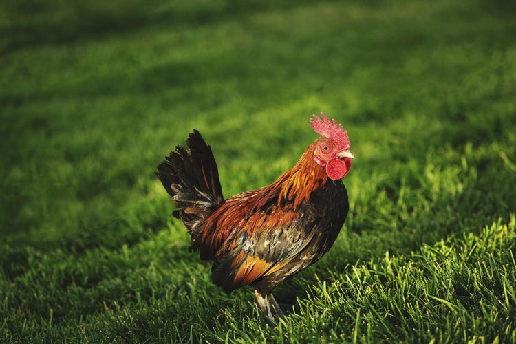 View of rooster on land