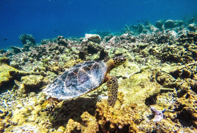 Sea turtle, Indian Ocean, Maldives Sea Underwater Sea Life Animal Themes UnderSea Animals In The Wild Coral Water Beauty In Nature Nature Animal Wildlife Scenics No People Close-up Day Outdoors sea turtle EyeEm Best Shots Sea Turtle EyeEm Nature Lover EyeEm4photography EyeEmNewHere